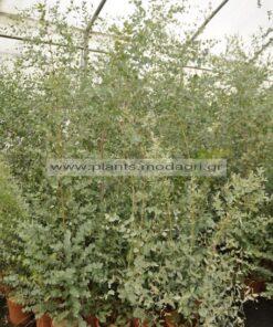 Eucalyptus gunni - Modagri Plants