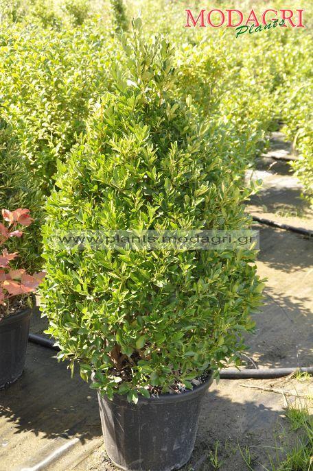 Euonimus japonicus 30lt cono 125cm - Modagri Plants
