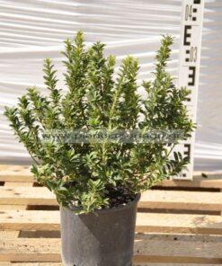 Euonimus japonicus microphyllus 3lt - Modagri Plants