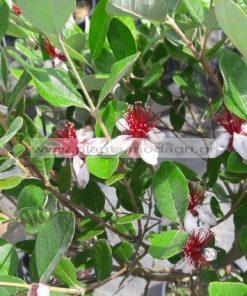 FEIJOA/MODAGRI/PLANTS