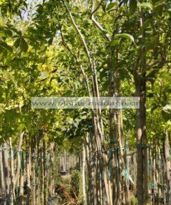 FRAXINUS/MODAGRI/PLANTS