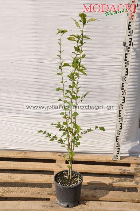 Hibiscus syriacus - Modagri Plants