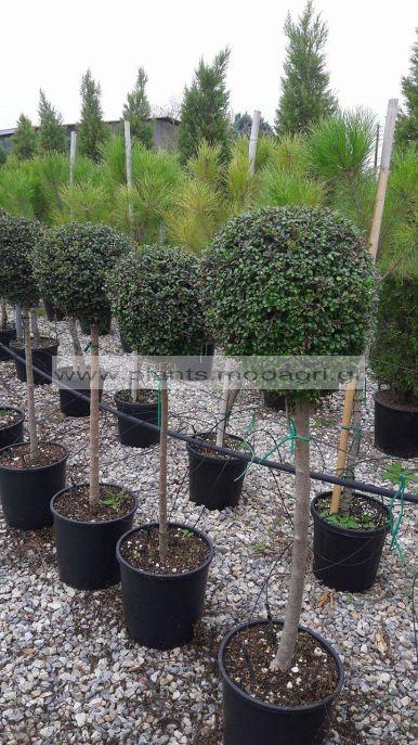 LIGUSTRUM/JONADRUM/MODAGRI/PLANTS