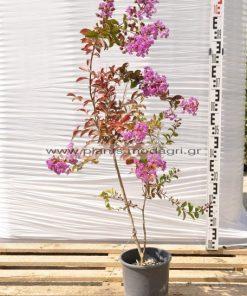 Lagoestremia indica 3lt - Modagri Plants