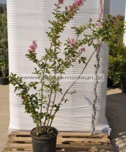 Lagoestremia indica 9lt - Modagri Plants
