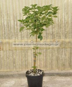 Lantana mini tree 5lt - Modagri Plants