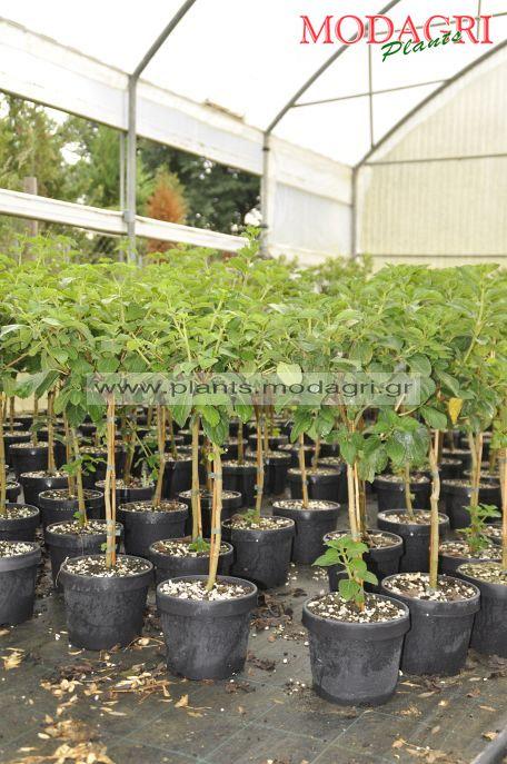 Lantana mini tree 5lt - Modagri Plants