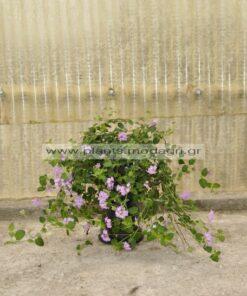 Lantana sellowiana purple 3lt - Modagri Plants