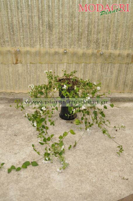 Lantana sellowiana white 3lt - Modagri Plants