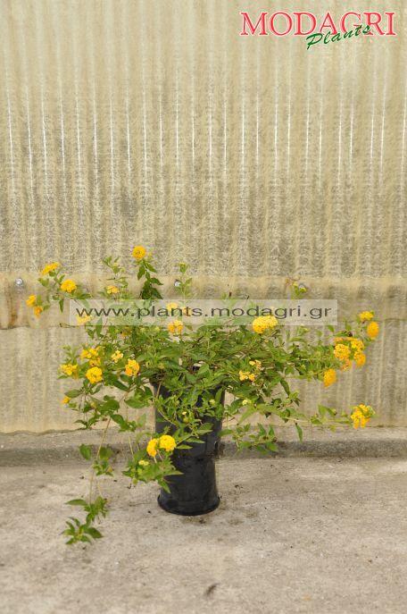 Lantana sellowiana yellow 3lt - Modagri Plants