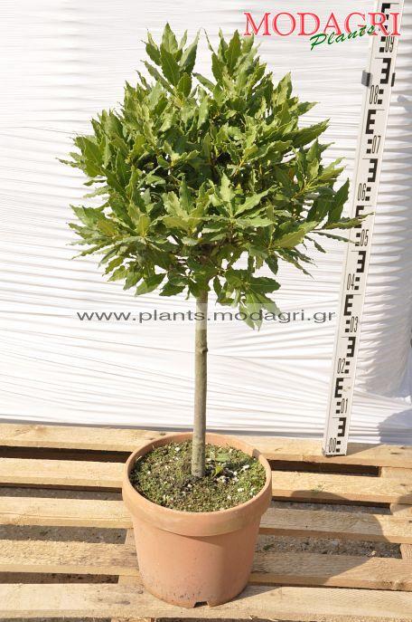 Laurus nobilis stem 9lt - Modagri Plants
