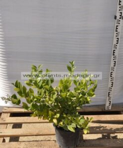 Ligustrum texanum 3lt - Modagri Plants