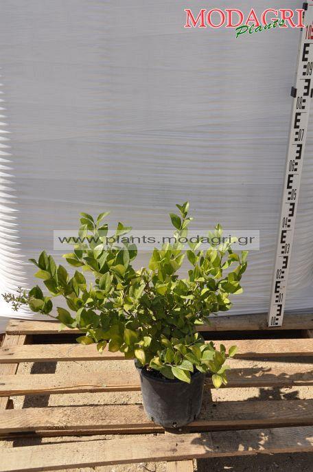 Ligustrum texanum 3lt - Modagri Plants