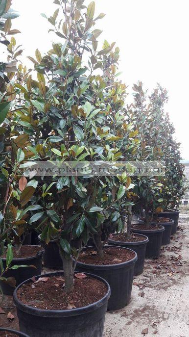 MAGNOLIA/GRANDIFLORA/MODAGRI/PLANTS