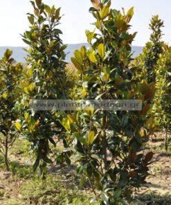 Magnolia grandiflora 2-2,5-3m rootball - Modagri Plants
