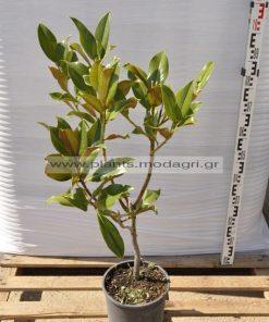 Magnolia grandiflora 6lt - Modagri plants