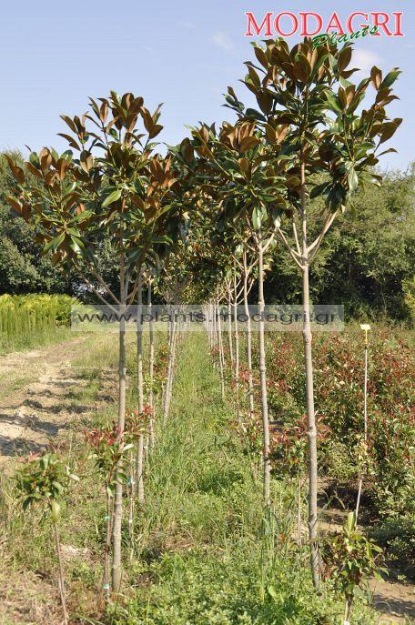 Magnolia grandiflora tree 10-12-14 - Modagri Plants