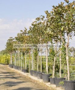 Magnolia grandiflora tree 12-14-16-18-20cm circonference of the tronc - Modagri Plants