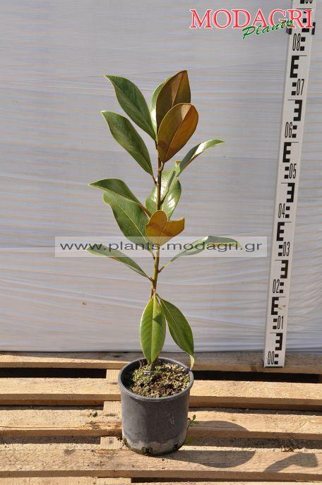 Magnolia grandiflora(grafted) 3lt - Modagri Plants
