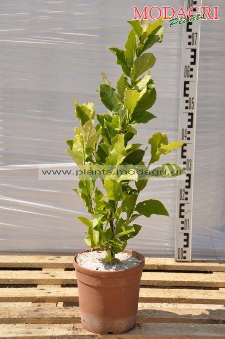 Magnolia soulangeana 4lt - Modagri Plants