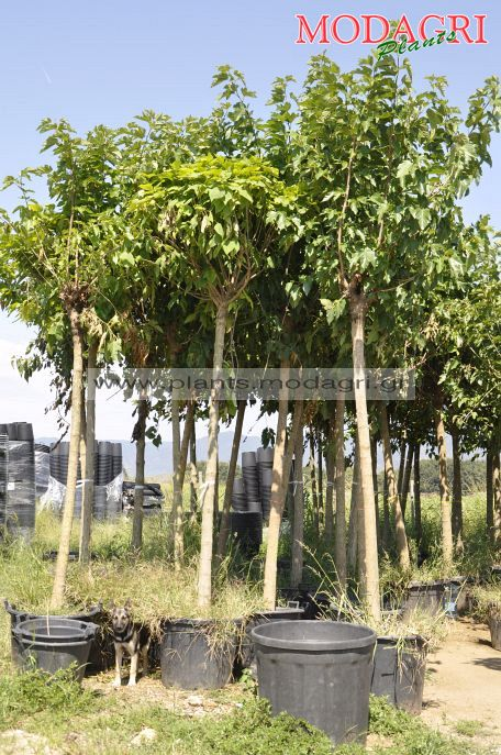 Morus platanifolia fruitless 18-20-25-30cm - Modagri Plants