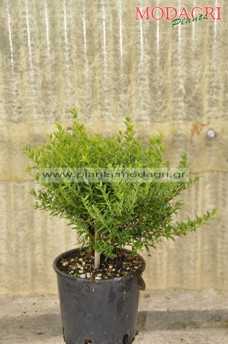 Myrtus com. tarentina 3lt - Modagri Plants