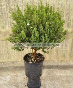 Myrtus com. tarentina mini tree 2lt - Modagri Plants