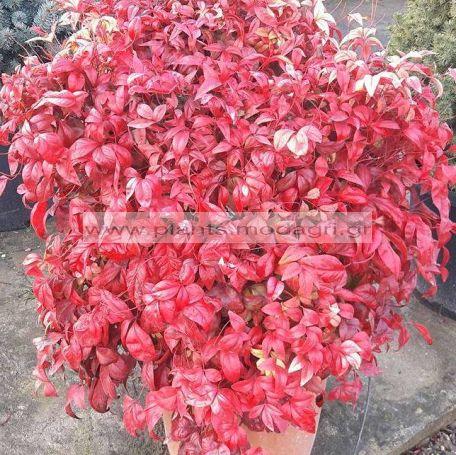 NANDINA/NANA/FIREPOWER/MODAGRI/PLANTS