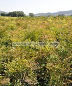 Nandina domestica 25-30lt - Modagri Plants