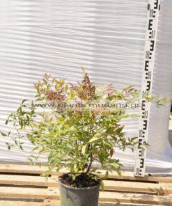 Nandina domestica 3lt - Modagri Plants