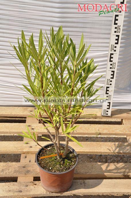 Nerium oleander orange,yellow, white,red 3lt - Modagri Plants