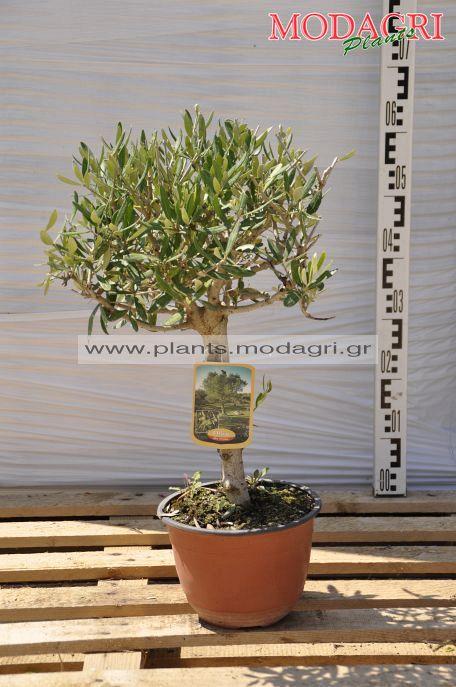 Olea europea bonsai - Modagri Plants
