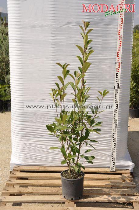 Photinia red robin 5lt - Modagri Plants