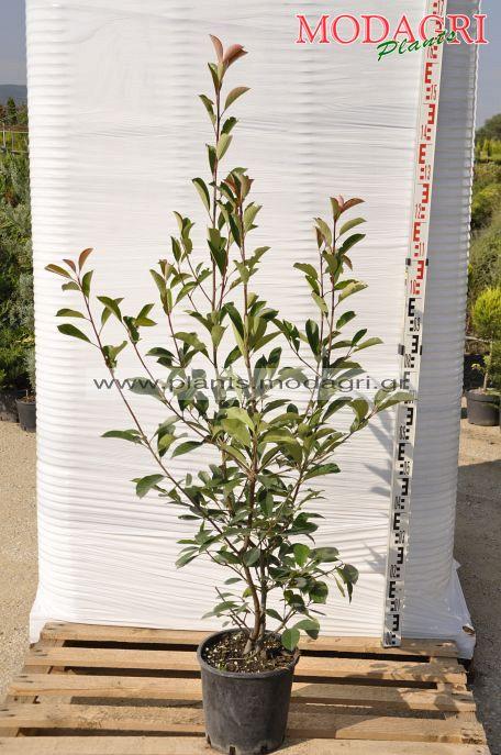 Photinia red robin 9lt - Modagri Plants