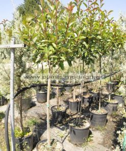 Photinia red robin stem 15lt - Modagri Plants