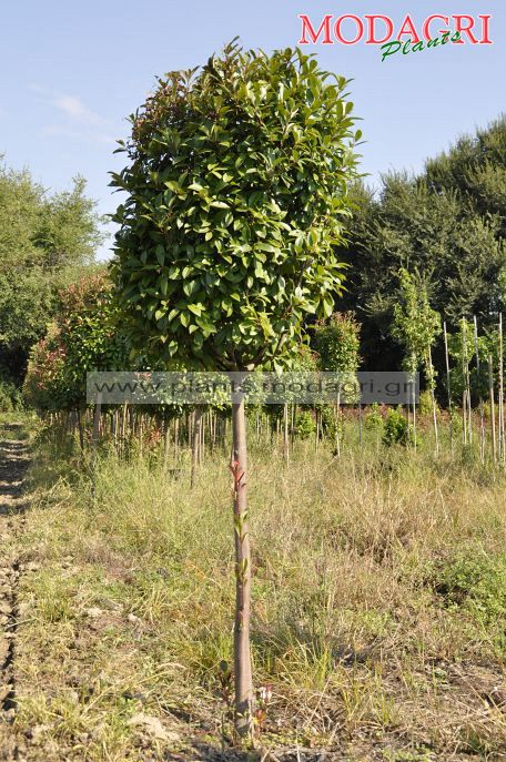 Photinia red robin tree form rootball - Modagri Plants