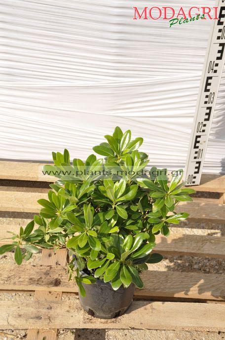 Pittosporum nana 3lt - Modagri Plants