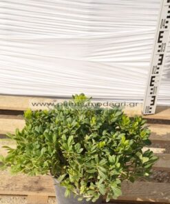 Pittosporum nana 7lt - Modagri Plants