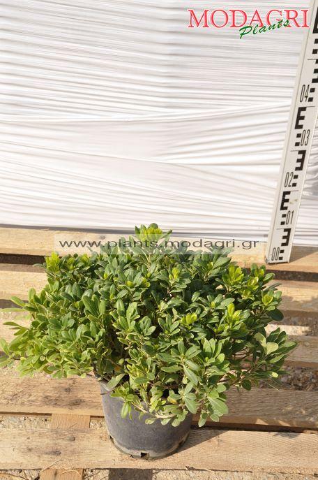 Pittosporum nana 7lt - Modagri Plants