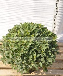 Pittosporum nana 9lt - Modagri Plants