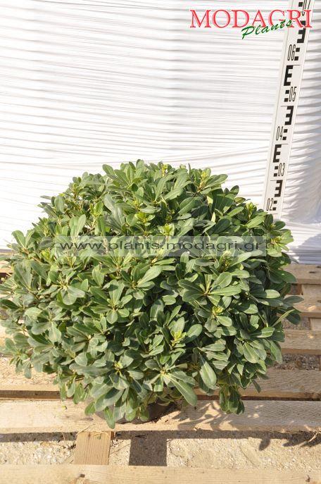 Pittosporum nana 9lt - Modagri Plants