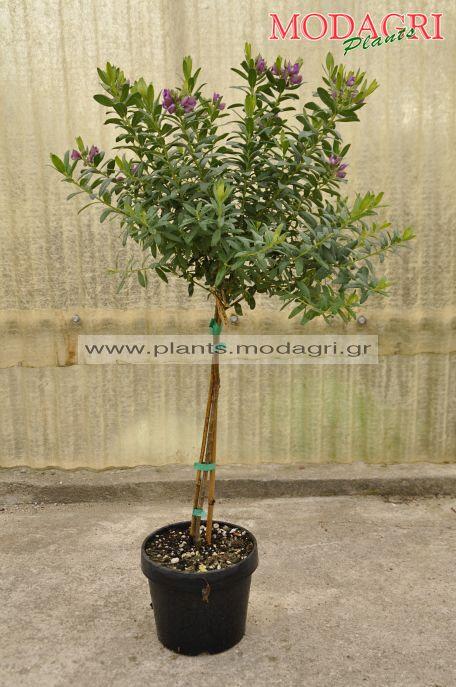 Polygala myrtifolia mini tree 4lt - Modagri Plants