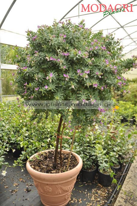 Polygala myrtifolia tree - Modagri plants