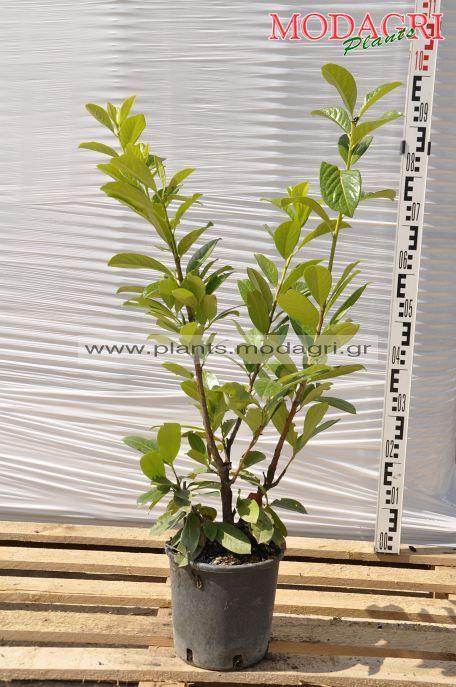 Prunus laurocerasus 4lt - Modagri Plants