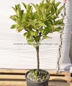 Prunus laurocerasus stem 9lt - Modagri Plants