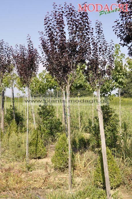 Prunus pissardi nigra 8-10-12cm rootball - Modagri Plants