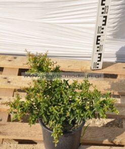 Pyracantha nana 3lt - Modagri Plants