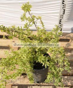 Pyracantha variegata 3lt - Modagri Plants