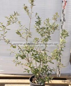 Quercus ilex - Modagri Plants