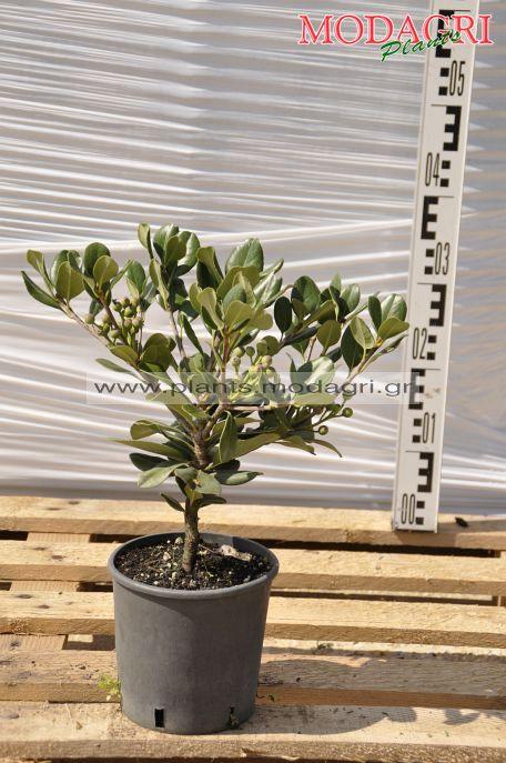 Raphiolepis indica 3lt - Modagri Plants